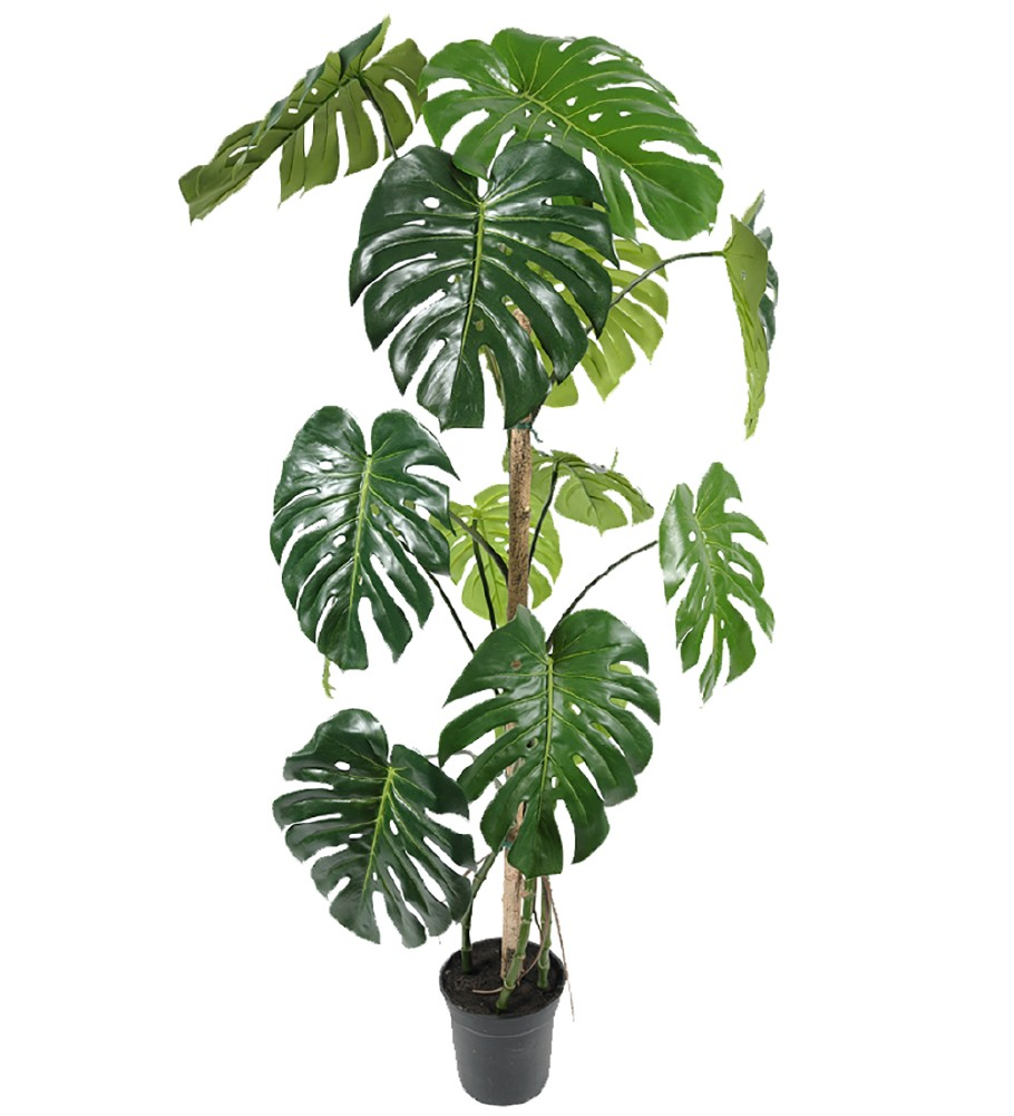 Mr Plant - Monstera tre