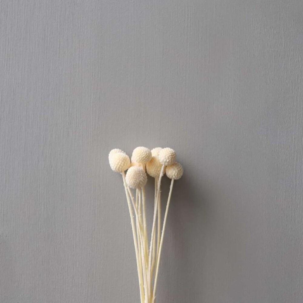 MR PLANT - CAMPANULA Lilla 65 Cm